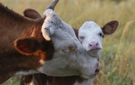 (Español) Afirman que los productores ahora deben mejorar la tasa de preñez